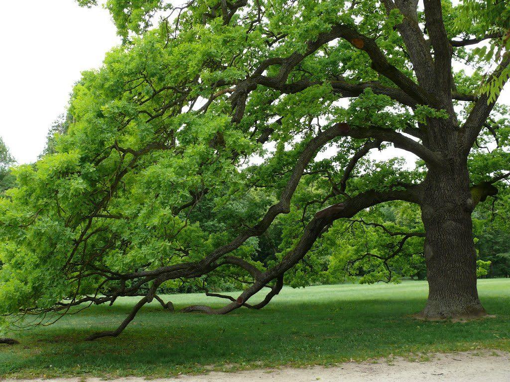 Kocsányos tölgy - Magyarország fája 2015-ben